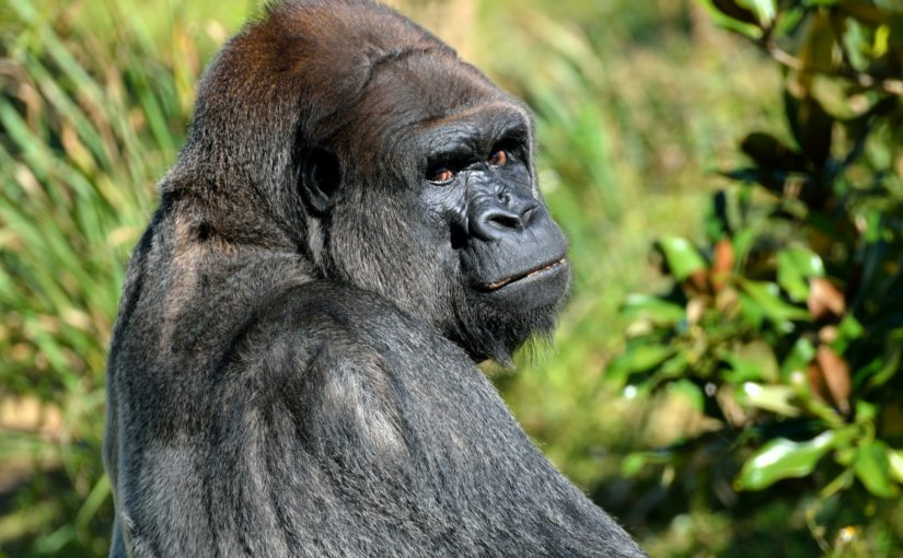This isn't my gorilla, but he could have been. Look at those eyes. (Public domain photo)