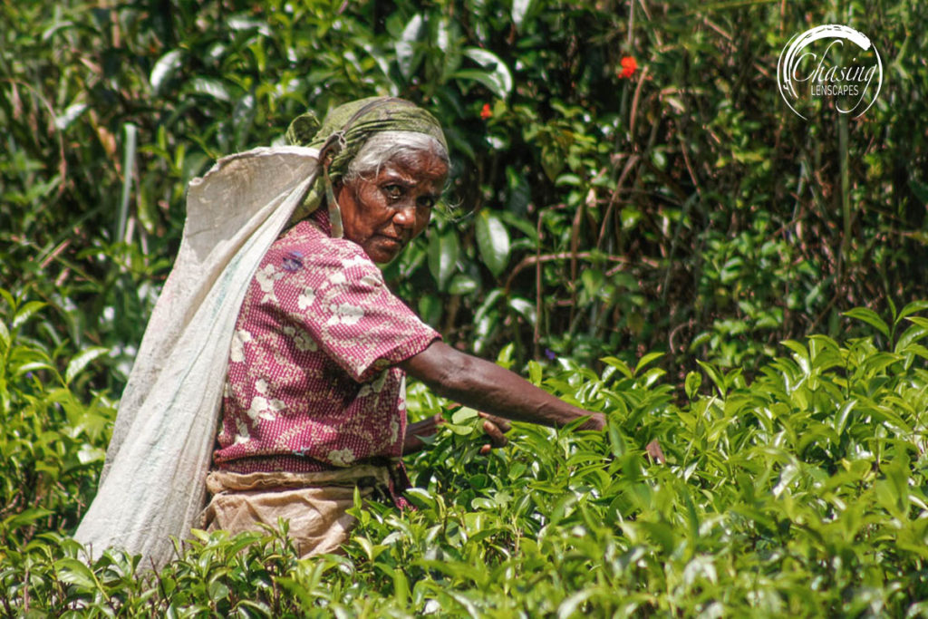 Tamil tea plantation worker
